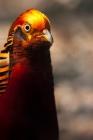 Picture of golden pheasant portrait