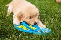 Picture of Golden Retriever chewing flip flop