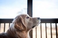 Picture of Golden retriever in profile
