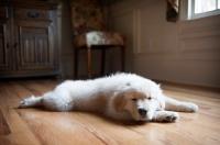Picture of golden retriever puppy sleeping