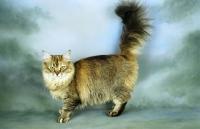 Picture of golden tiffanie cat