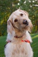 Picture of Goldendoodle portrait