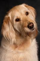 Picture of Goldendoodle, studio portrait