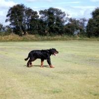 Picture of gordon setter walking across field