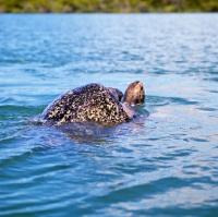 Picture of green pacific turtles mating off santa cruz island, galapagos