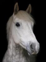Picture of grey Connemara Pony portrait