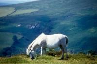 Picture of grey dartmoor pony grazing