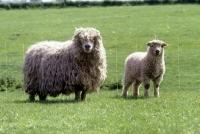 Picture of grey face dartmoor ewe and lamb