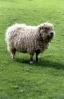 Picture of grey face dartmoor ewe
