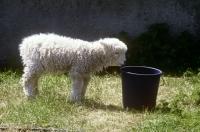 Picture of grey face dartmoor lamb looking into a bucket