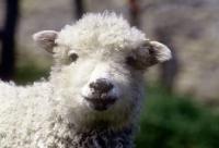 Picture of grey face dartmoor lamb, portrait