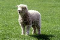 Picture of grey face dartmoor lamb standing in field