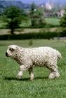 Picture of grey face dartmoor lamb walking in field