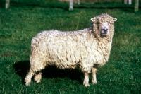 Picture of grey face dartmoor sheep