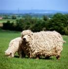 Picture of greyface dartmoor ewe and her lamb