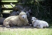 Picture of greyface dartmoor ewe and lamb