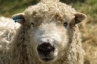 Picture of Greyface Dartmoor portrait