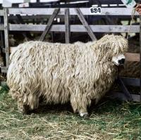 Picture of greyface dartmoor ram