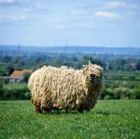 Picture of greyface dartmoor sheep