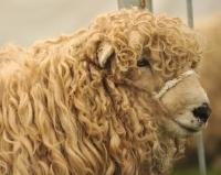 Picture of Greyfaced Dartmoor sheep portrait