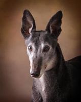 Picture of Greyhound portrait