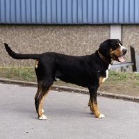 Picture of grosser schweizer sennenhund,  fredo von der beeklage, standing on a path