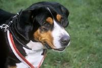 Picture of grosser schweizer sennenhund head portrait