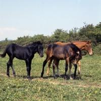 Picture of Group of connemara foals in ireland