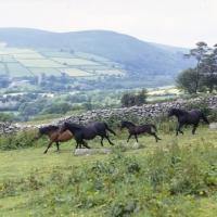Picture of group of Dartmoor mares and foals running on Dartmoor