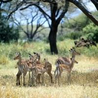 Picture of group of impala in lake manyara np, tanzania