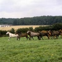 Picture of group of trakehners at  trakehner gestüt rantzau