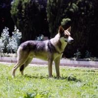 Picture of guzzi lupo zwart van helmond,  saarloos wolfhound on grass