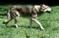 Picture of guzzi lupo zwart van helmond, saarloos wolfhound walking
