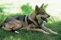 Picture of guzzi lupo zwart van helmond, saarloos wolfhound
