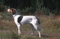 Picture of Halden Hound, aka Norwegian Haldenstovare, rare breed