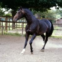 Picture of hanoverian horse, atlanta in his paddock