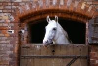 Picture of hanoverian looking over stable door