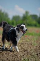 Picture of happy black tri color australian shepherd walking in a field