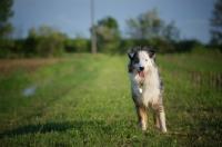 Picture of happy blue merle australian shepherd standing in a field