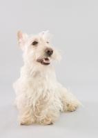 Picture of Happy wheaten Scottish Terrier in studio on grey background.