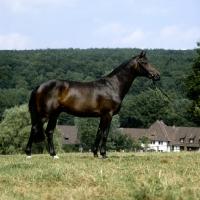 Picture of hassadeur, trakehner  stallion