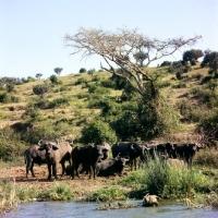 Picture of herd of buffalo in queen elizabeth np, africa
