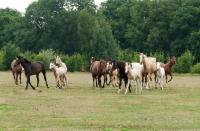Picture of herd of Kinsky horses trotting in field