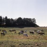 Picture of herd of Shagya Arabs grazing