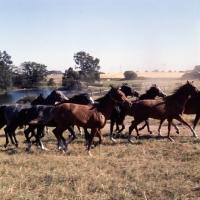 Picture of herd of Shagya Arabs running