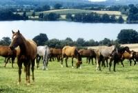 Picture of herd of trakehners at gestüt rantzau