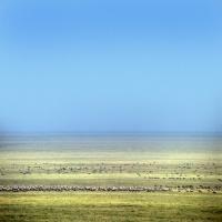 Picture of herd of wildebeest in serengeti np