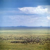 Picture of herd of wildebeest migrating in serengeti np