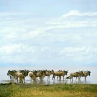 Picture of herd of wildebeest standing in water, lake manyara np