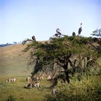 Picture of herd of zebra grazing